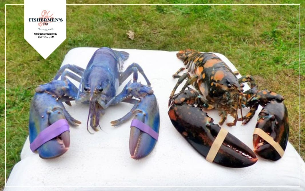 Lobsters are blue due to protein-coupled pigments
