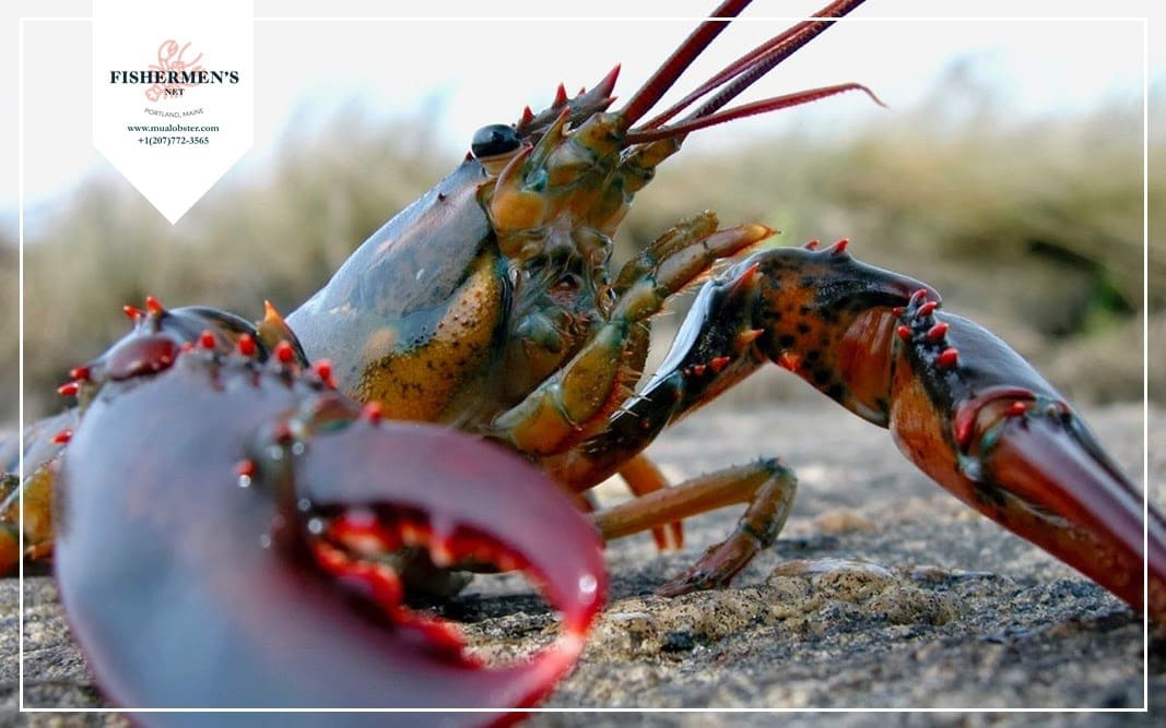 11 interesting lobster facts