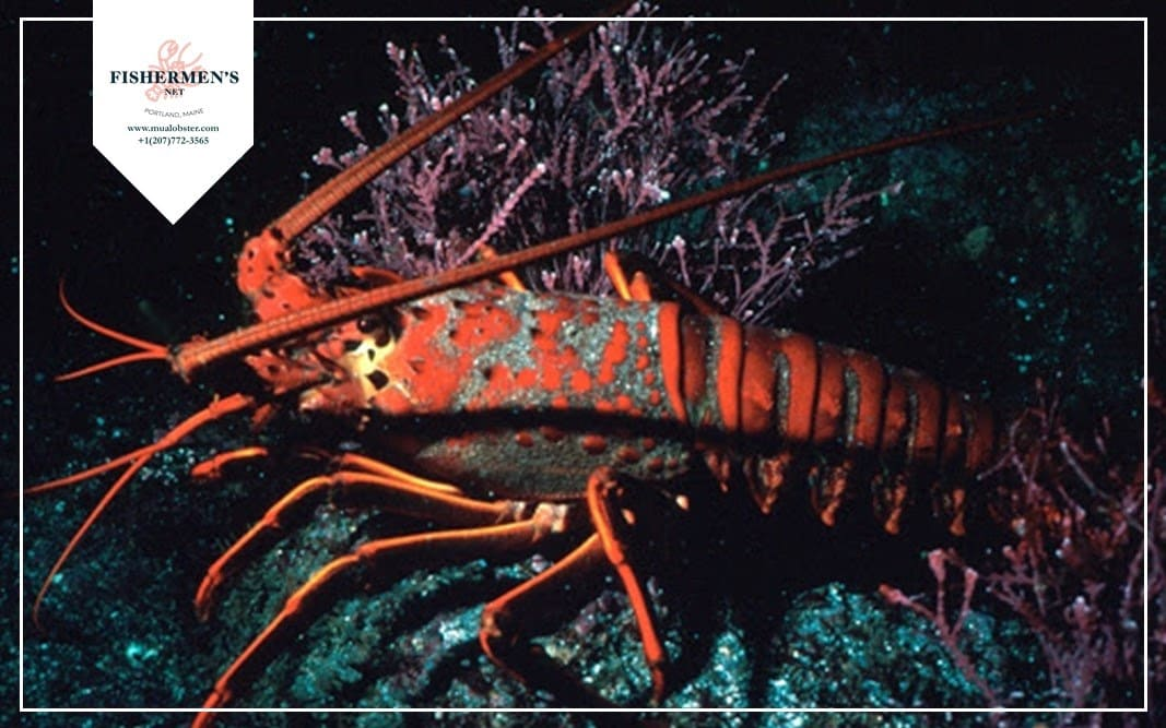 Lobster is a cannibalistic creature