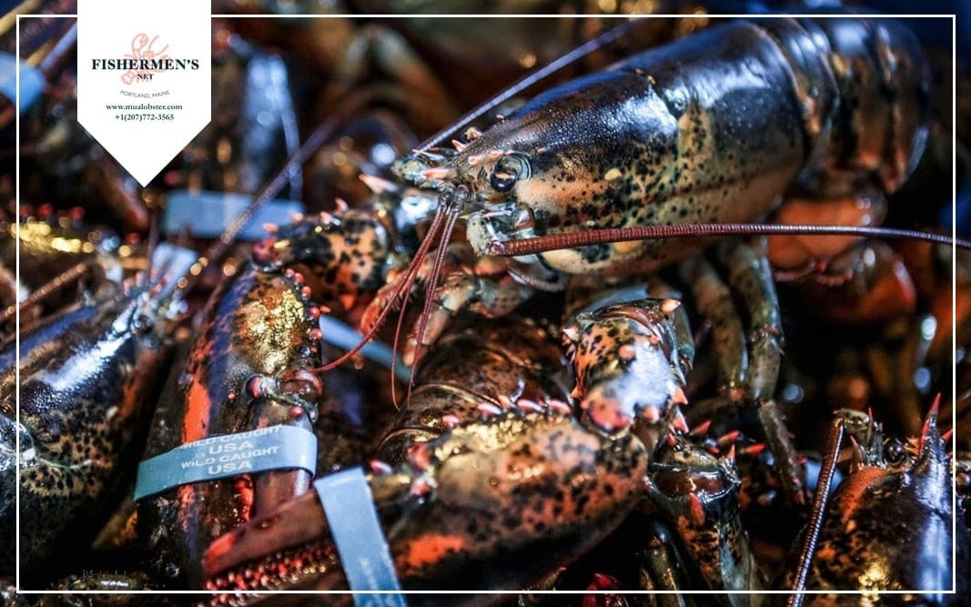 Lobsters' shells were once used to produce golf balls