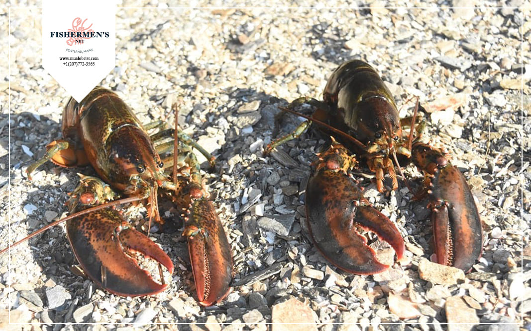 Canadian lobsters live in colder waters, so their shells are thicker and stiffer than Maine lobsters