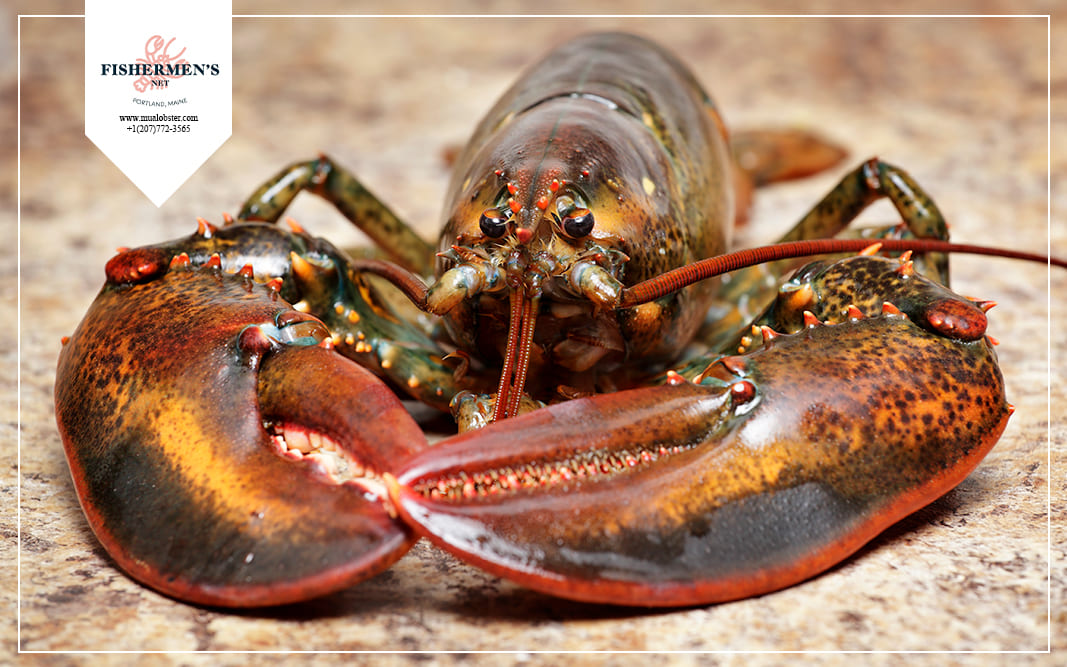Both the Canadian Lobster and Maine Lobster are lobsters native to North American