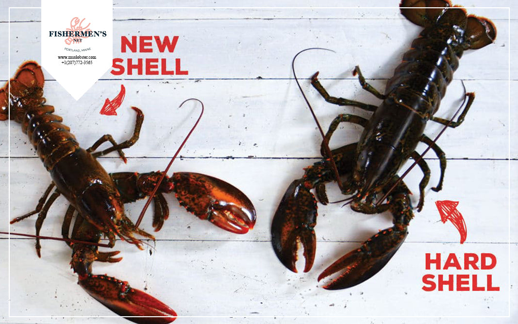 After each molting, the size and weight of the lobster increased a lot