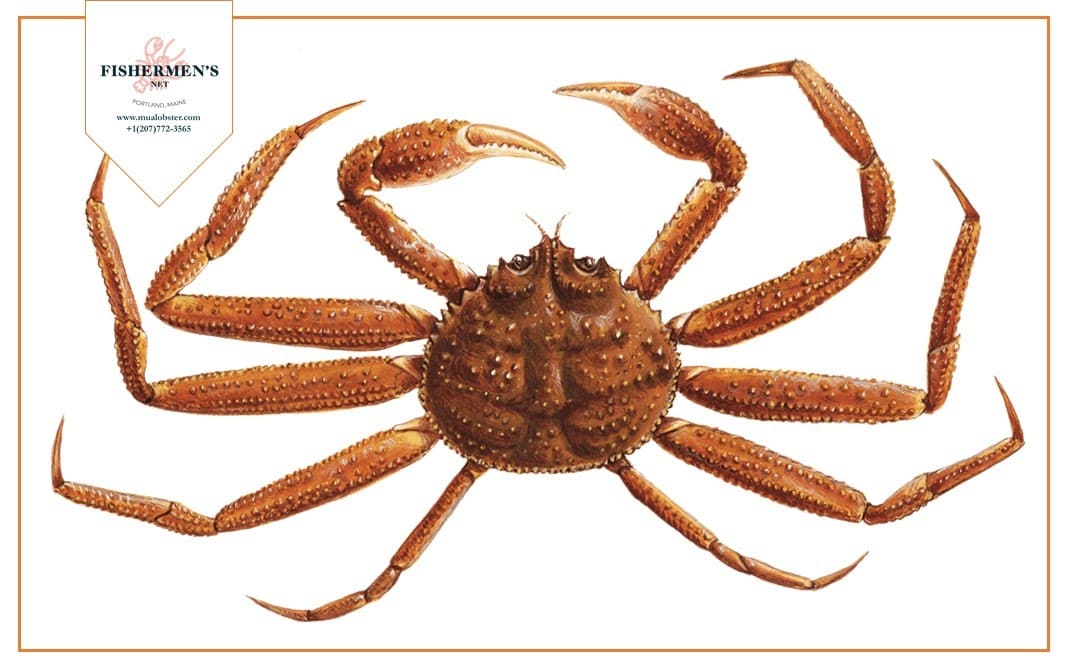 Triangle Tanner Crab
