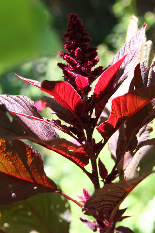 Hopi Red Dye Amaranth