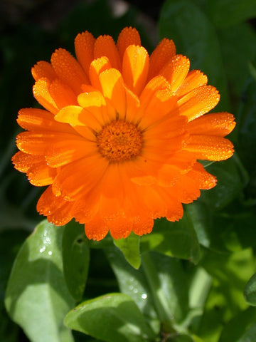 Calendula, Mixed