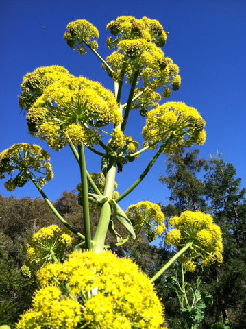 Giant Anise Fennel