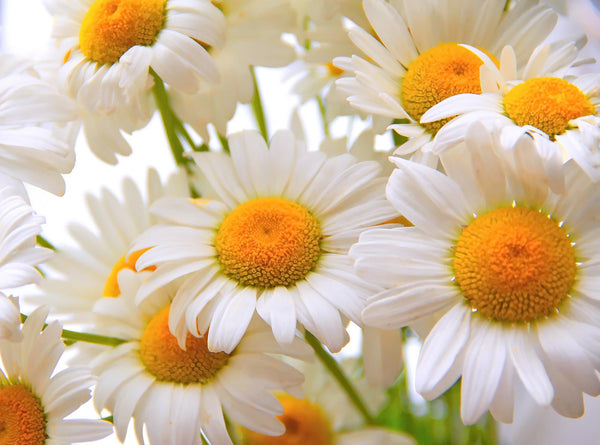How to use Roman Chamomile essential oil