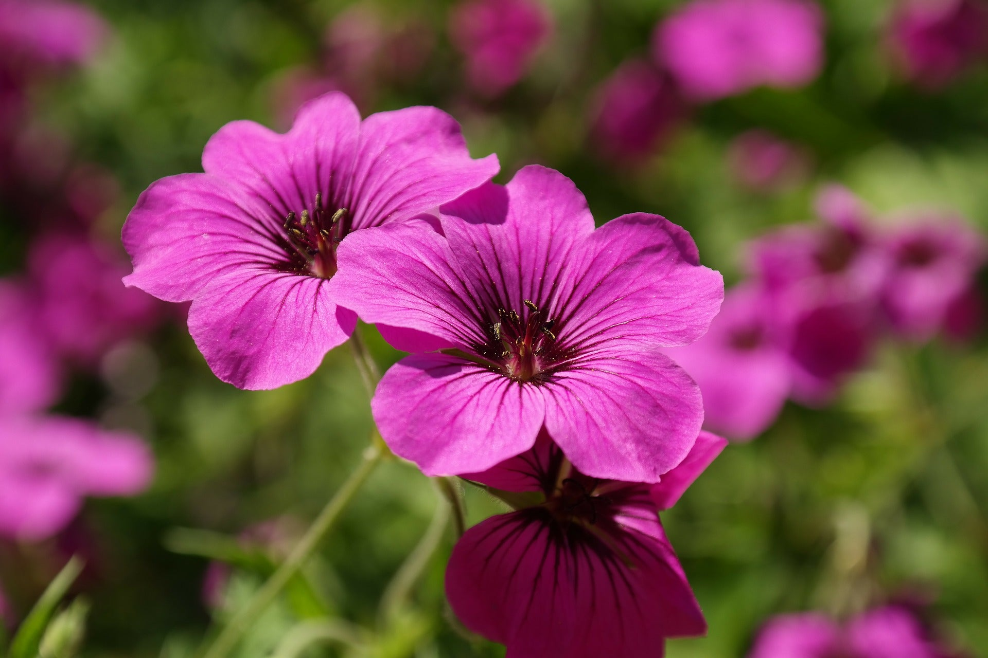 Geranium essential oil has a sweet floral fragrance