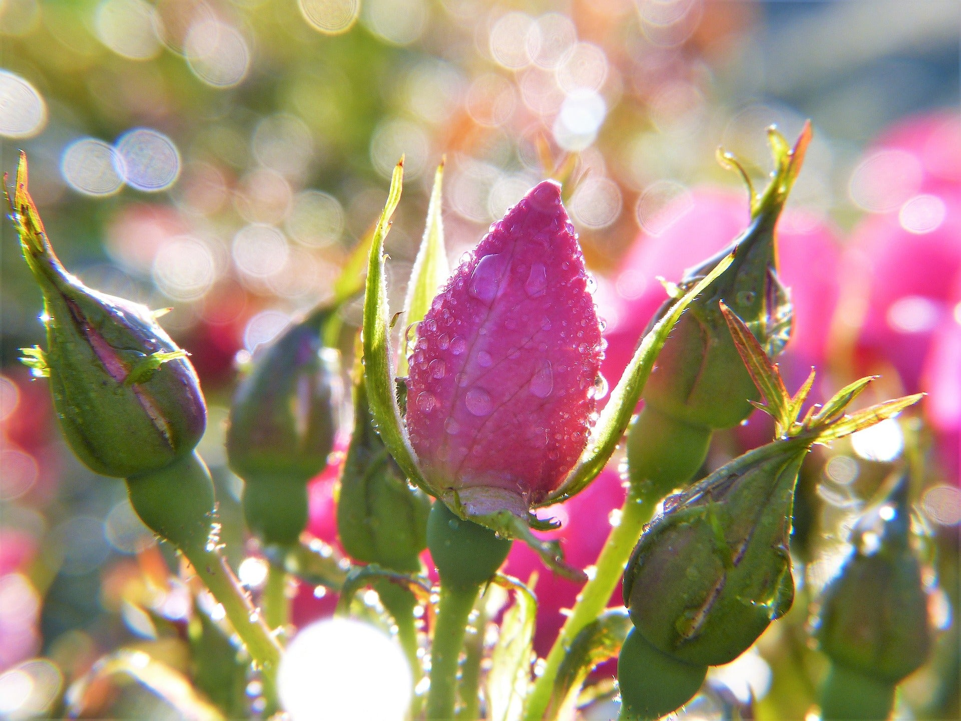 rose absolute essential oil tips