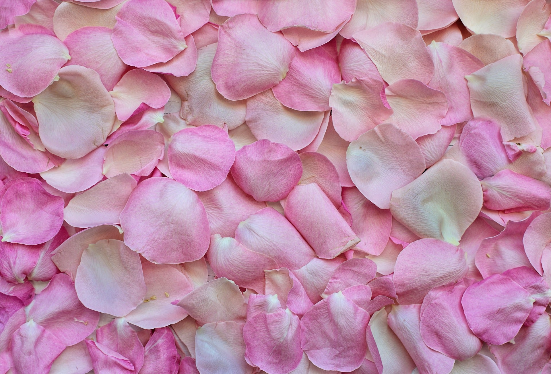 Harvesting petals to make Rose absolute oil