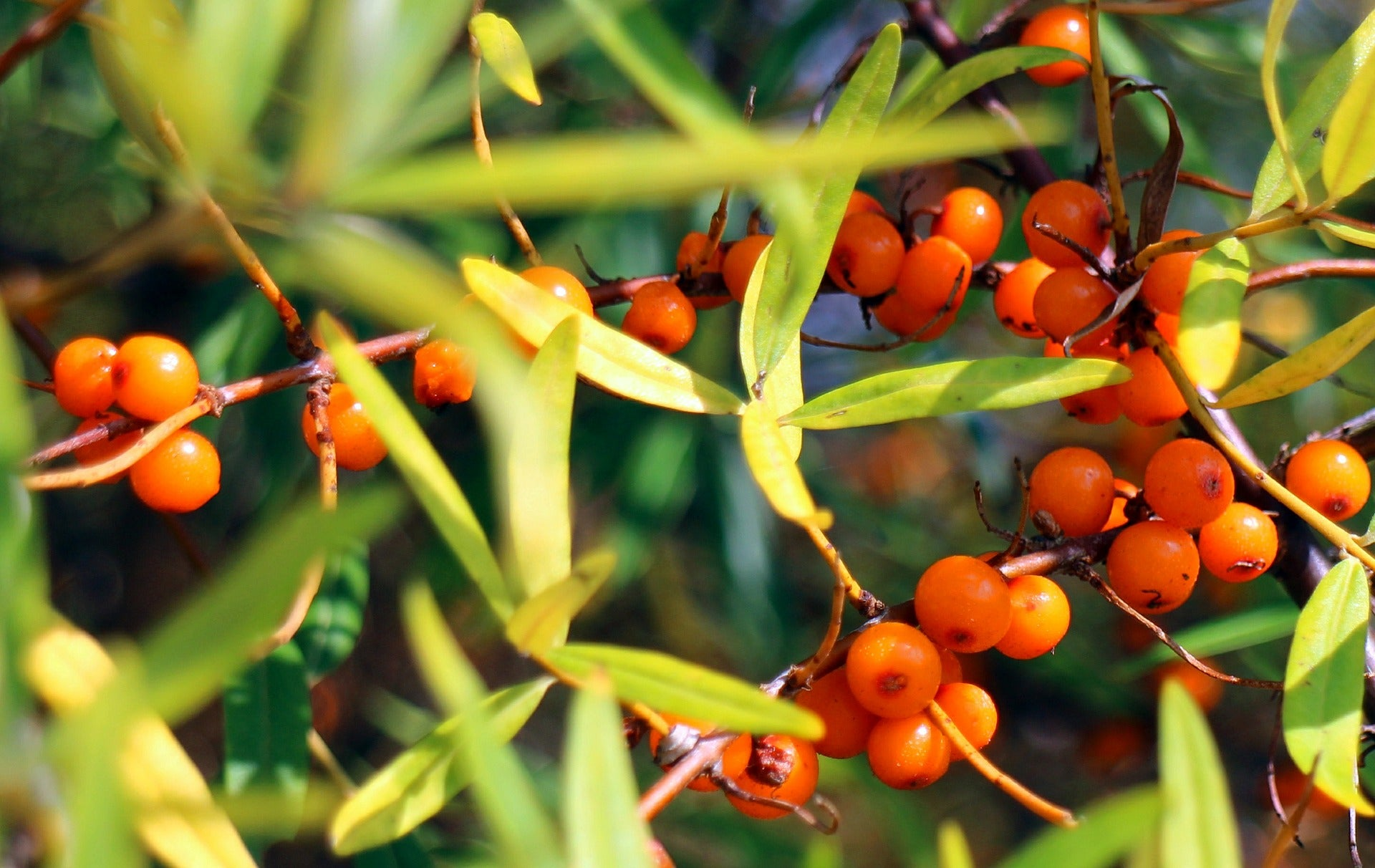sea buckthorn fruit tree