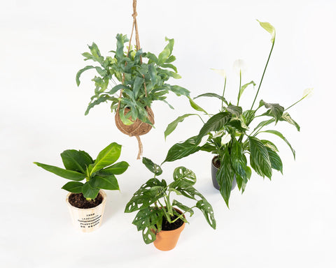 Jungle Fever | Premium Planten Box