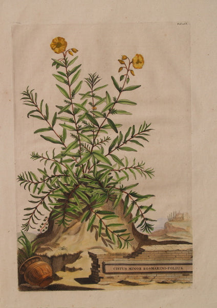 CISTUS MINOR ROSMARINI-FOLIUS
