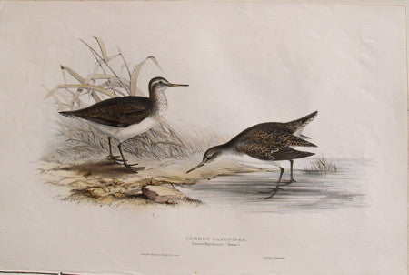 Common Sandpiper, Totanus Hypoleucos