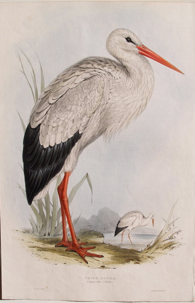 White Stork, Common Alba