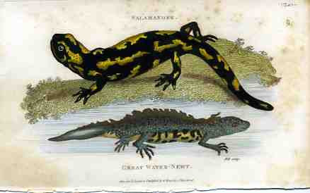 Salamander & Great Water Newt
