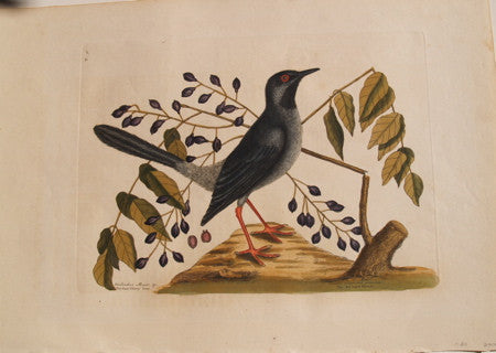 The Red Leggeded Thrush, Vol.I Pl. 30
