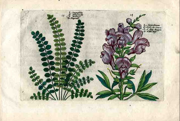 Pl.13 & 14, Antirrhinum (snap-dragon)