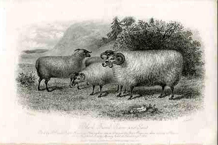 Black Faced Ram and Ewes