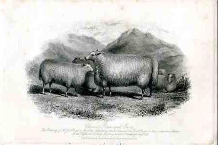 Cheviot Ram and Ewes