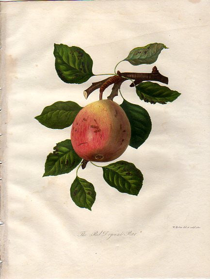 The Red Doyenne Pear