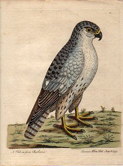 A Falcon from Barbarie
