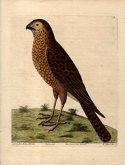 The Sparrow Hawk