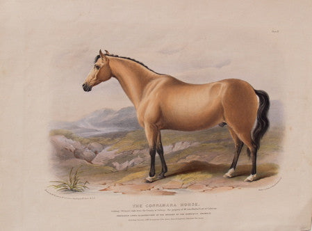 The Connamara Horse