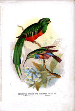 Beautiful Trogan (S.America) and Collared Sun Bird (S. Africa)
