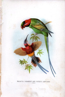 Malacca Parakeet and Gould's Sun Bird (India)
