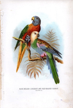 Blue Bellied Lorikeet and Pale-Headed Parrot (Australia)