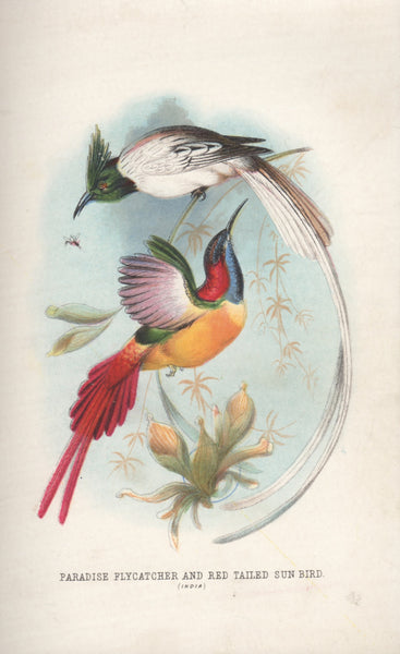 Paradise Flycatcher and Red Tailed Sun Bird