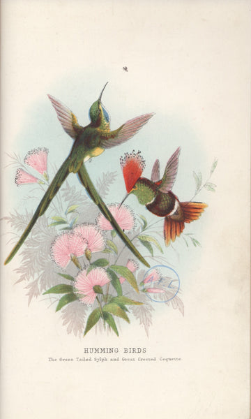 Humming Birds- The Green Tailed Sylph and Great Crested Coquette