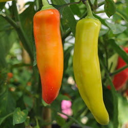 Hungarian Hot Wax Chilli Pepper - Capsicum Annuum - 30 Seeds
