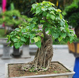 Bodhi Tree - Ficus Religiosa - Deciduous Tree - 20 Seeds