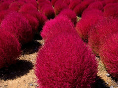 Burning Bush / Mexican Fireweed Annual - Kochia Scoparia - 20 Seeds