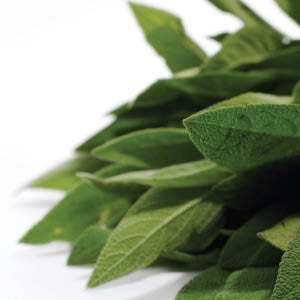 Broadleaf Sage Culinary Herb - Salvia Officinalis - 10 Seeds