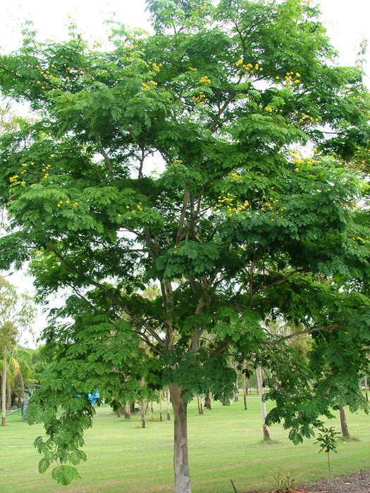 Leopard Tree Exotic Tree - Caesalpinia ferrea - 10 Seeds