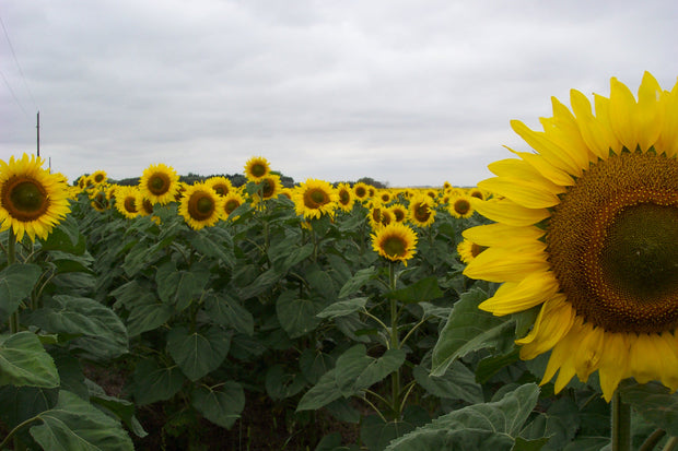 Giant Sunflower - Bulk Edible Flower Seeds