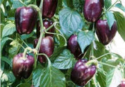 Purple Beauty Sweet Bell Pepper - Capsicum Annuum - Seeds
