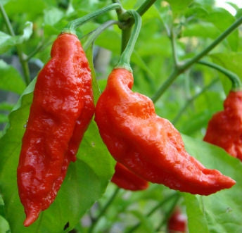 Ghost Pepper - Bhut Jolokia Chilli Pepper - Capsicum Chinense - Seeds