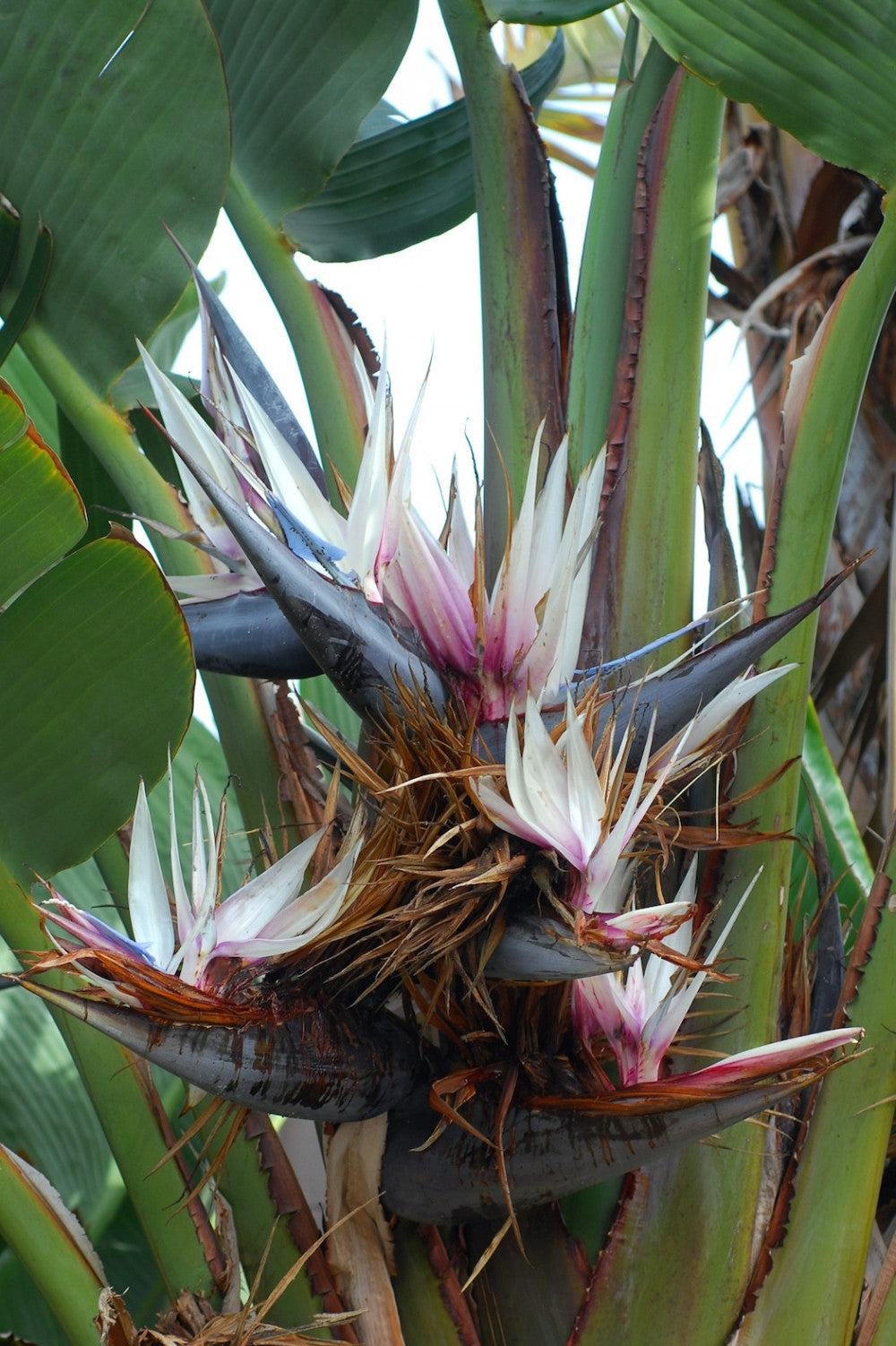Strelizia Nicolai Evergreen Tree - Natal Wild Banana - Great White Bird of Paradise - Seeds