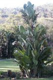 Corporate Gifting Seeds - Great White Tree Strelitzia - Strelitzia Nicolai - Indigenous South African Banana Palm