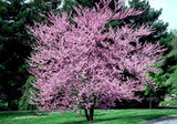 Chinese Redbud - Cercis Chinensis - Bonsai / Tree - 5 Seeds