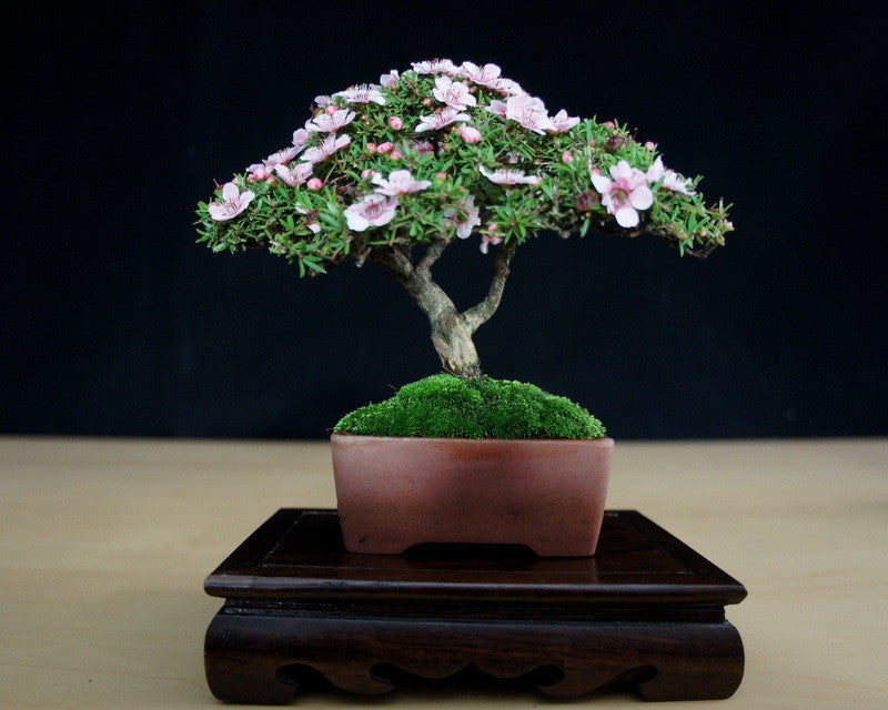 New Zealand Tea Tree / White Manuka - Leptsopermum Scoparium - Bonsai / Tree / Shrub - 10 Seeds