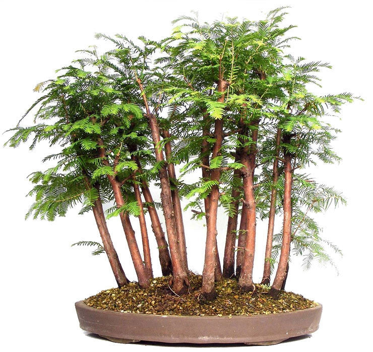 Dawn Redwood - Bonsai Tree - Metasequoia glyptostroboides - 10 Seeds
