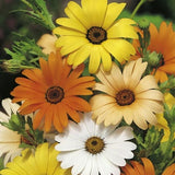 Wedding Favour Seeds - Mixed African Daisy - Annual Flower Seeds