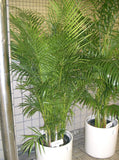 Areca Palm / Butterfly Palm - Dypsis Lutescens - Exotic Palm - 5 Seeds