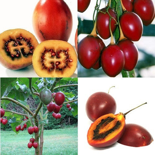 Tamarillo Fruit - Solanum Betaceum - Exotic Fruit Tree - 5 Seeds